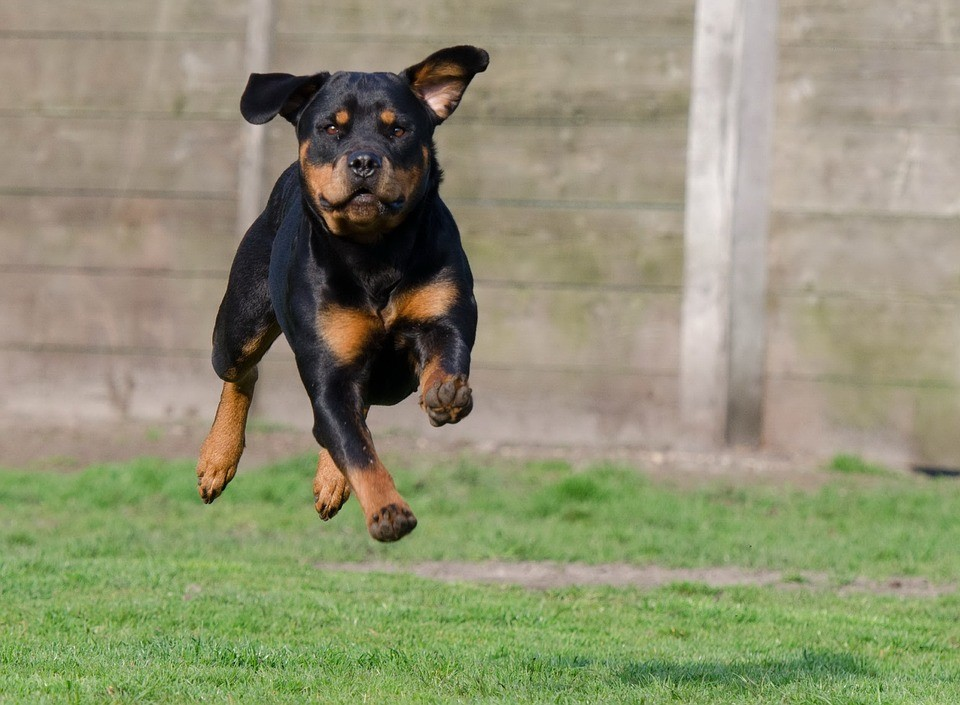 Things to Do Before You Bring Your Rottweiler Puppy Home